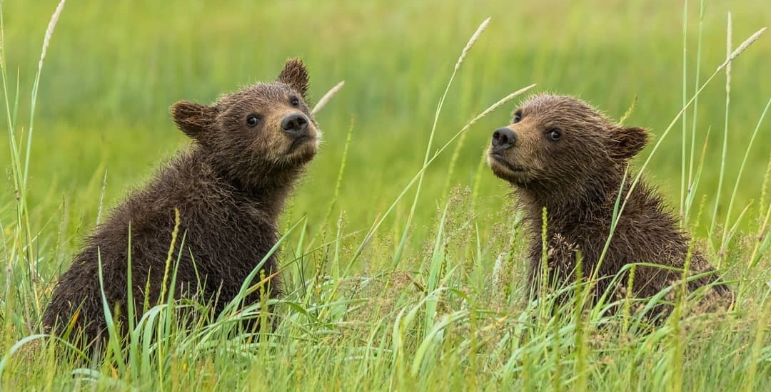 Kootenay Grizzly Bear Cubs
