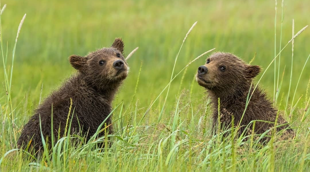 Grizzly Cubs Kootenay