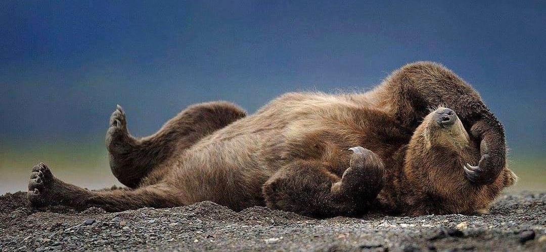 Kootenay Spring Bear